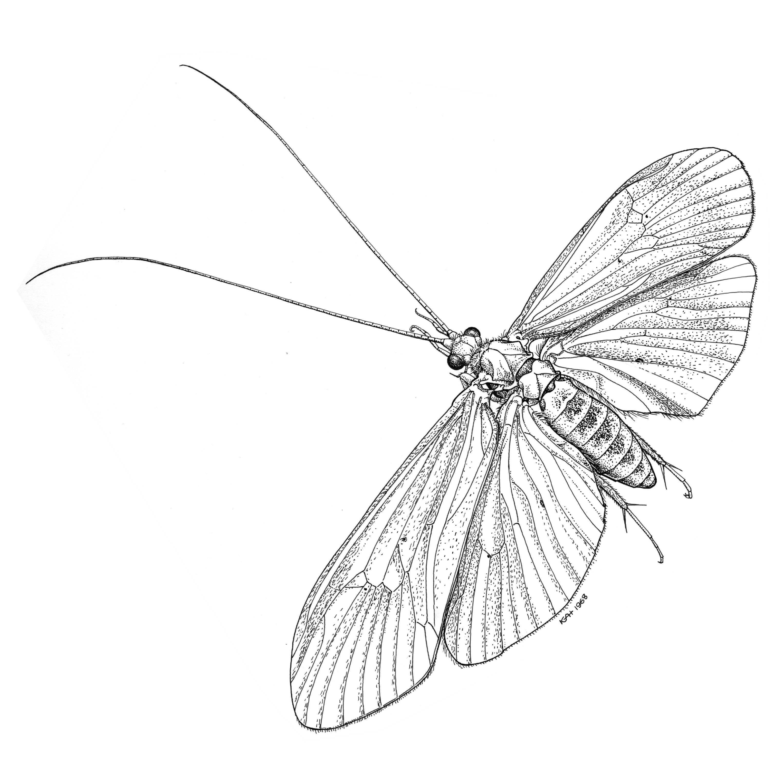 Image of <i>Leptonema albovirens</i> (Walker 1852)