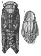 Image of <i>Cyrpoptus suavis</i> Stal 1862