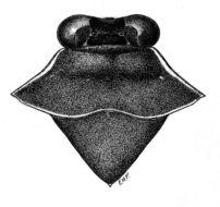 Image of <i>Ochterus acutangulus</i> (Champion 1901)