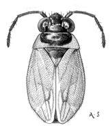 Image of <i>Orthophrys pygmaeum</i> (Reuter 1900)