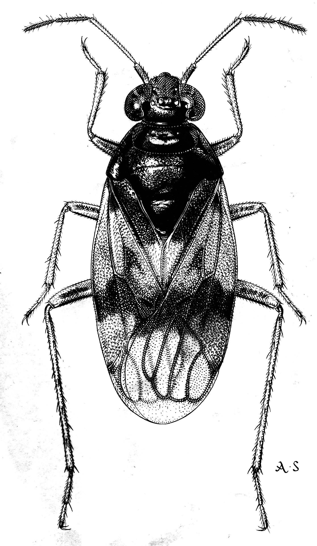 Image of <i>Halosalda lateralis</i> (Fallén 1807)