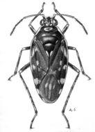 Image of <i>Pentacora ligata</i> (Say 1832)