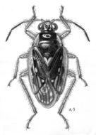 Image of <i>Pentacora hirta</i> (Say 1832)