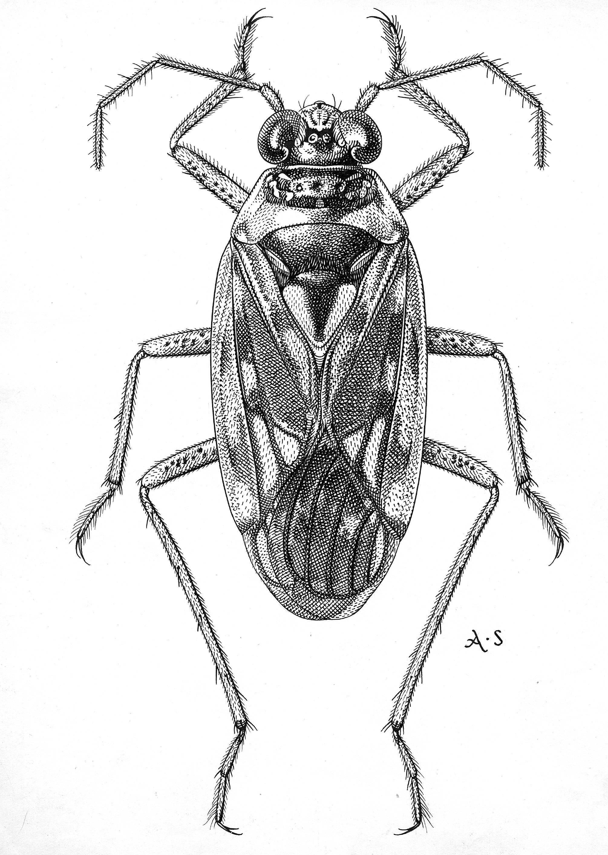 Image of <i>Pentacora sphacelata</i> (Uhler 1877)