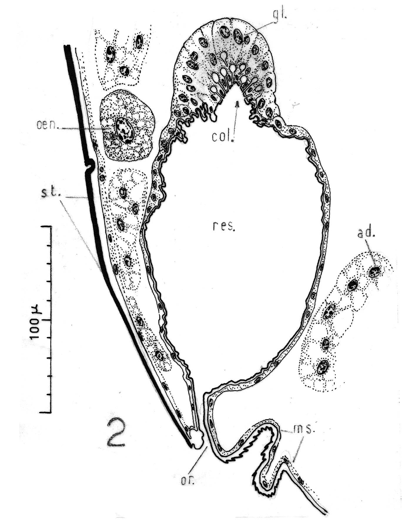 Image of <i>Saldula saltatoria</i> (Linnaeus 1758)