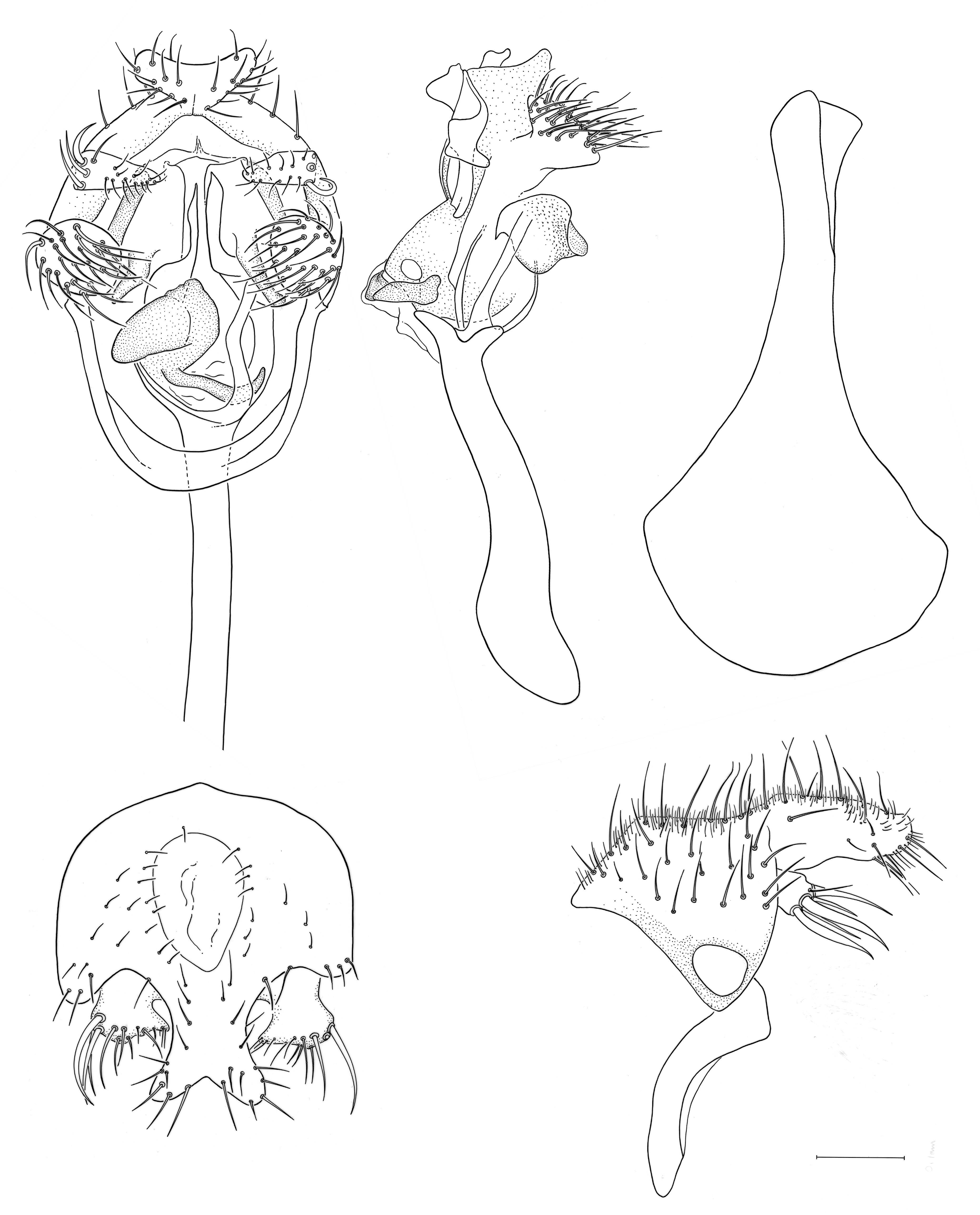 Image of <i>Planinasus ambiguus</i> Cresson 1914
