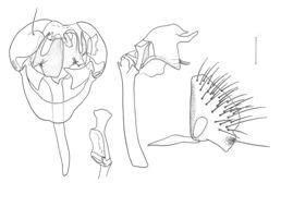 Image of <i>Planinasus shannoni</i> (Malloch 1934)