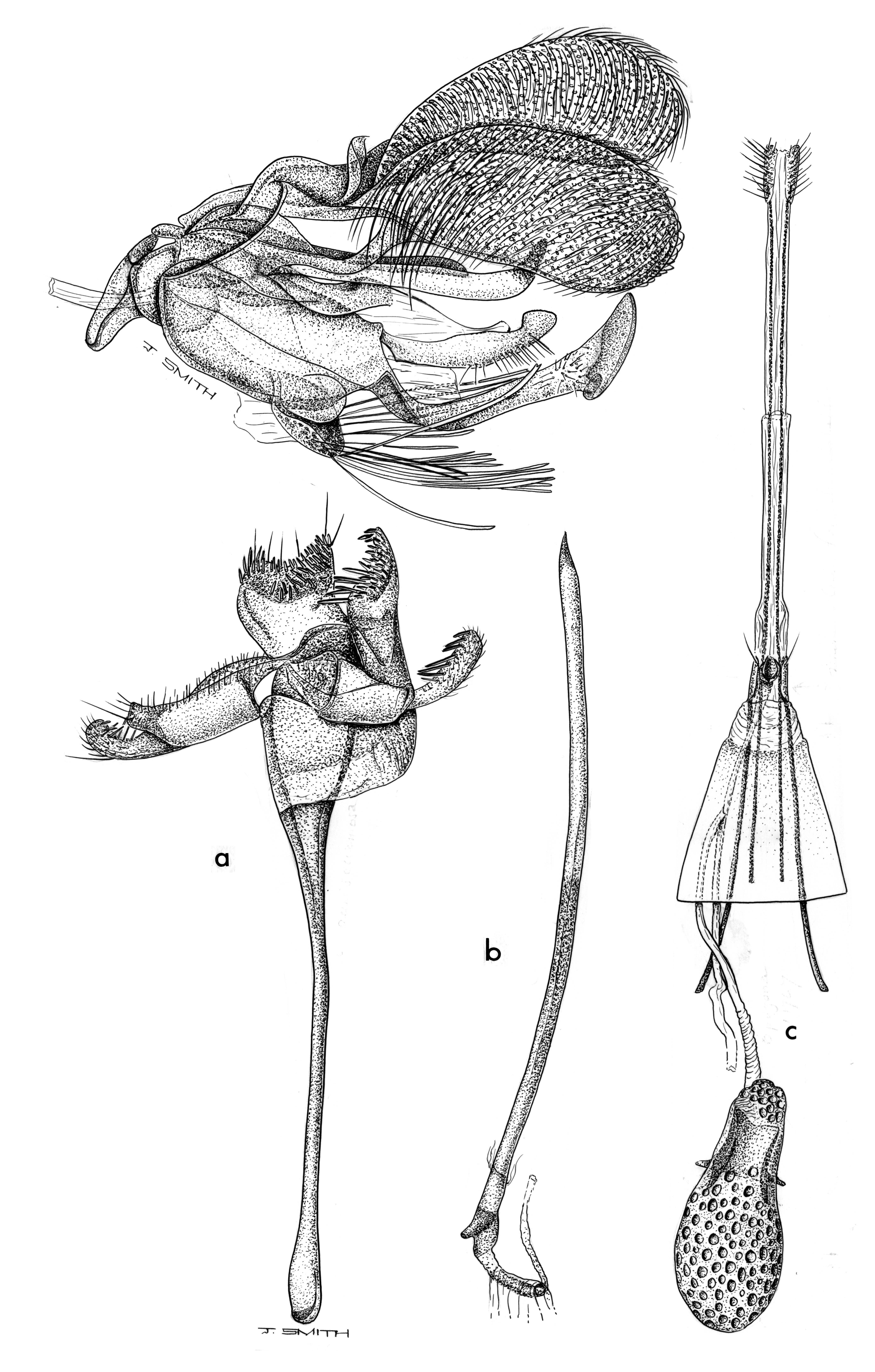 Image of <i>Opogona aurisquamosa</i> (Butler 1881)