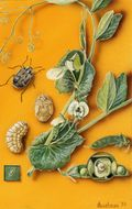 Image of pea weevil