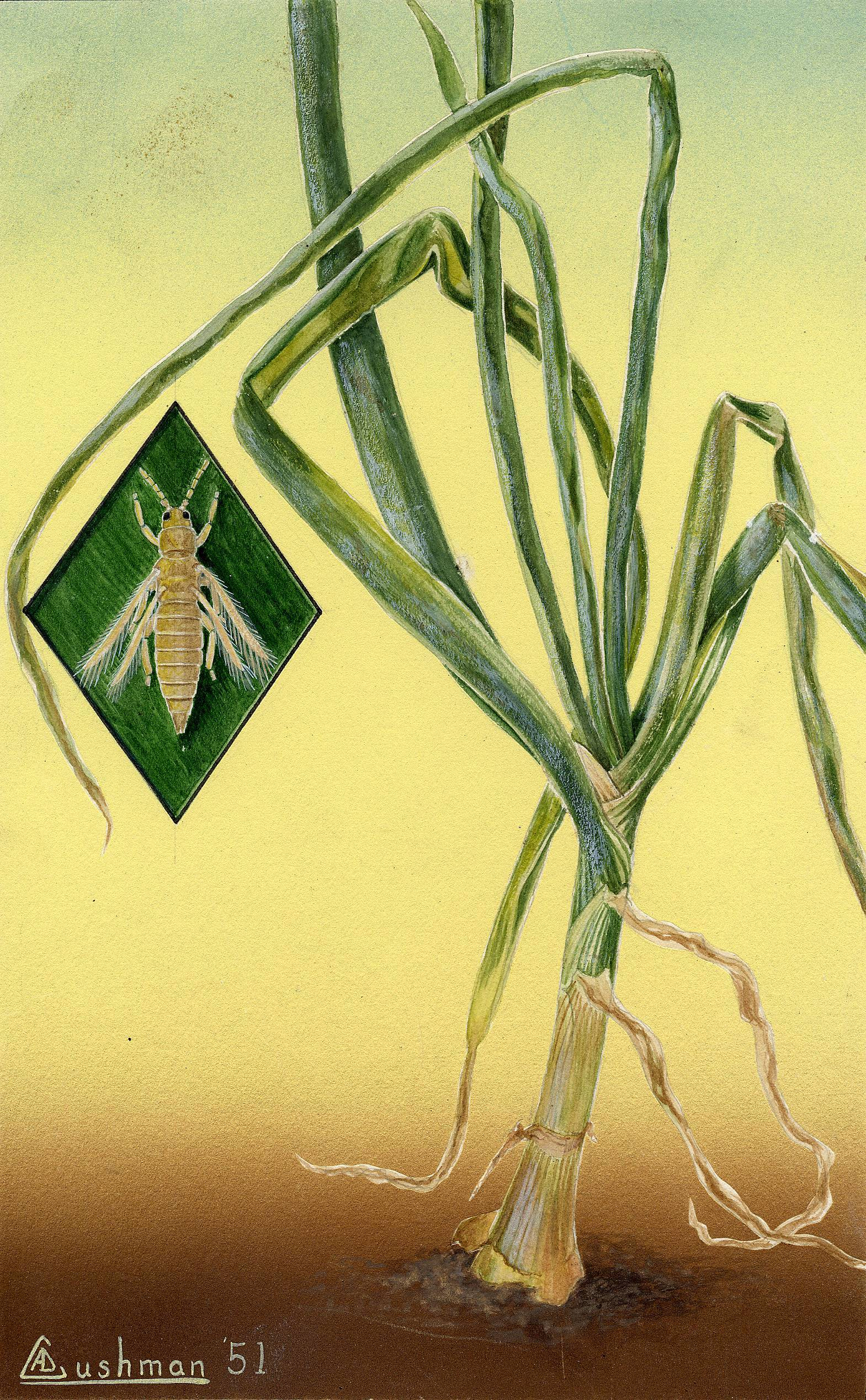 Image of Onion Thrips
