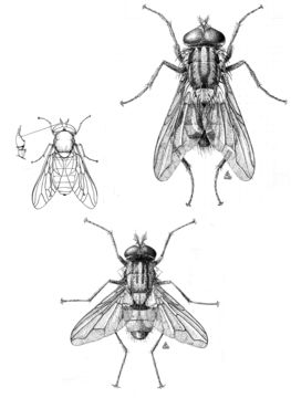 Image of house fly