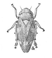 Image of Common froghopper