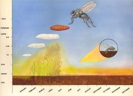 Image of Anthomyiid fly