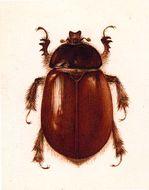 Image of <i>Pleocoma puncticollis</i> Rivers 1889