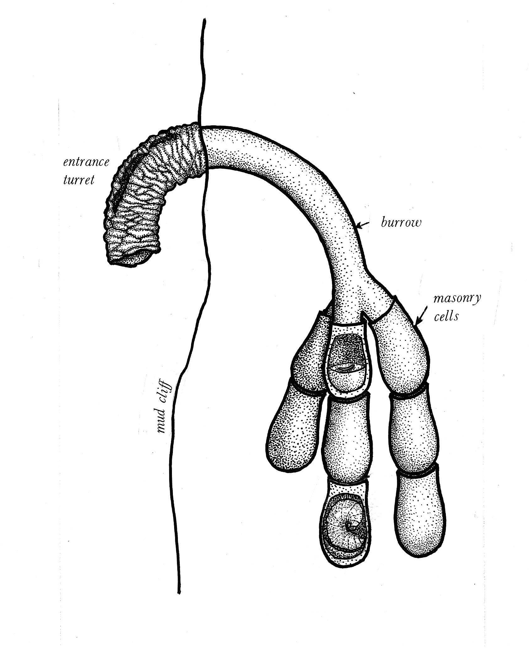 Image of Western Anthophora