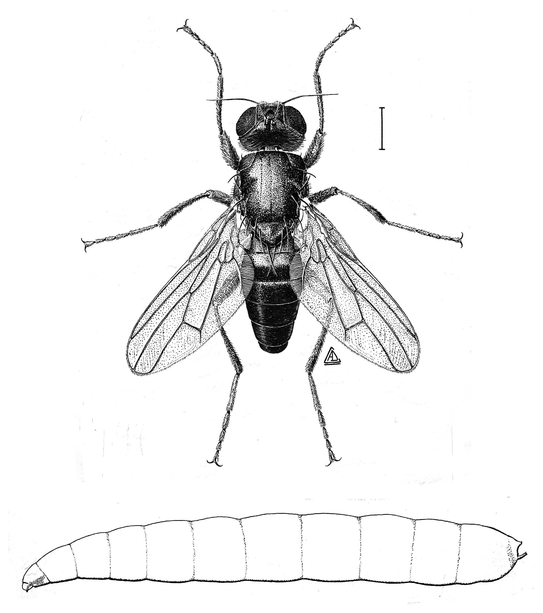 Image of Cheese fly