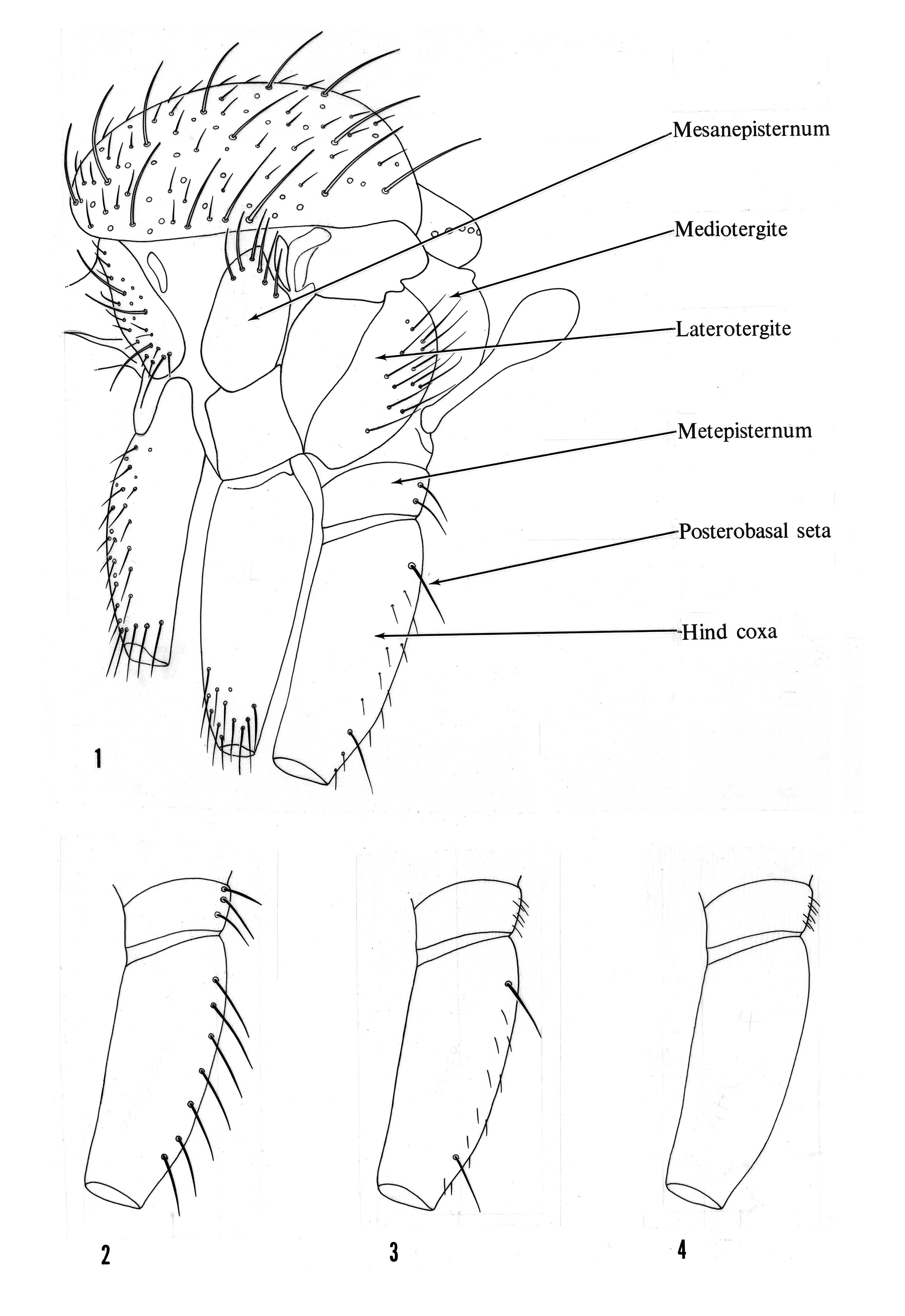 Image of Trichonta