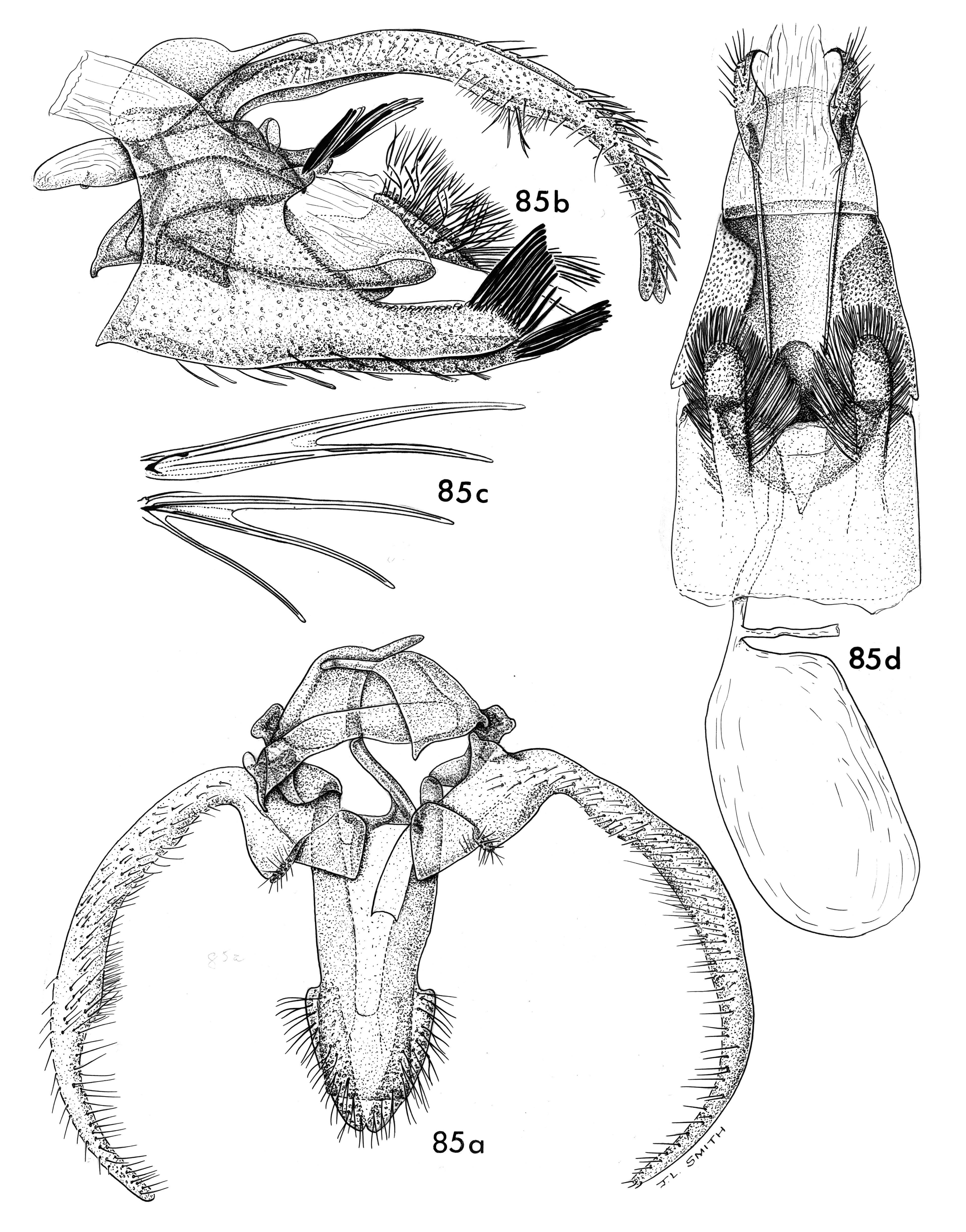 Image of <i>Stangeia rapae</i> Clarke 1971