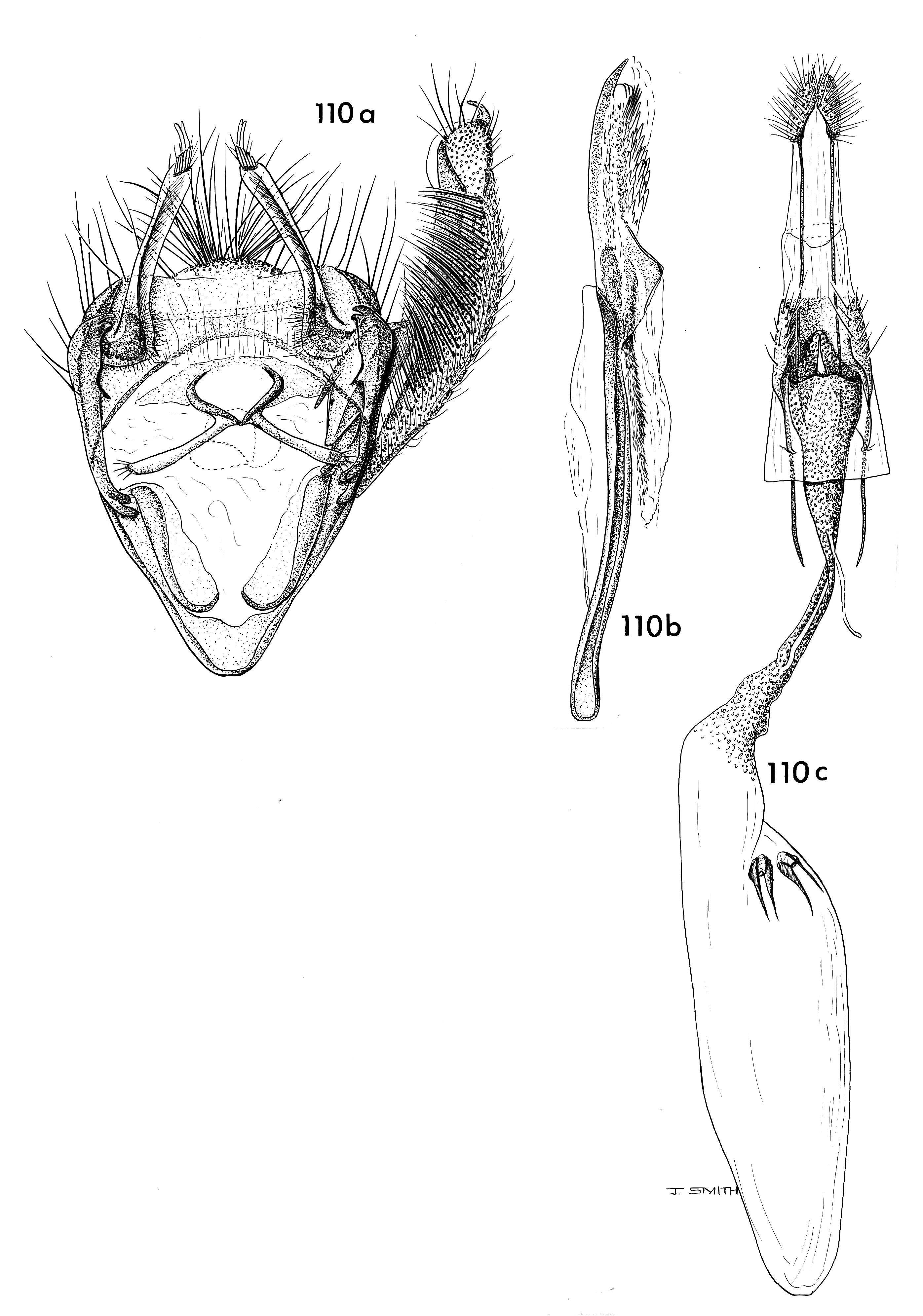 Image of <i>Carposina paracrinifera</i> Clarke 1971