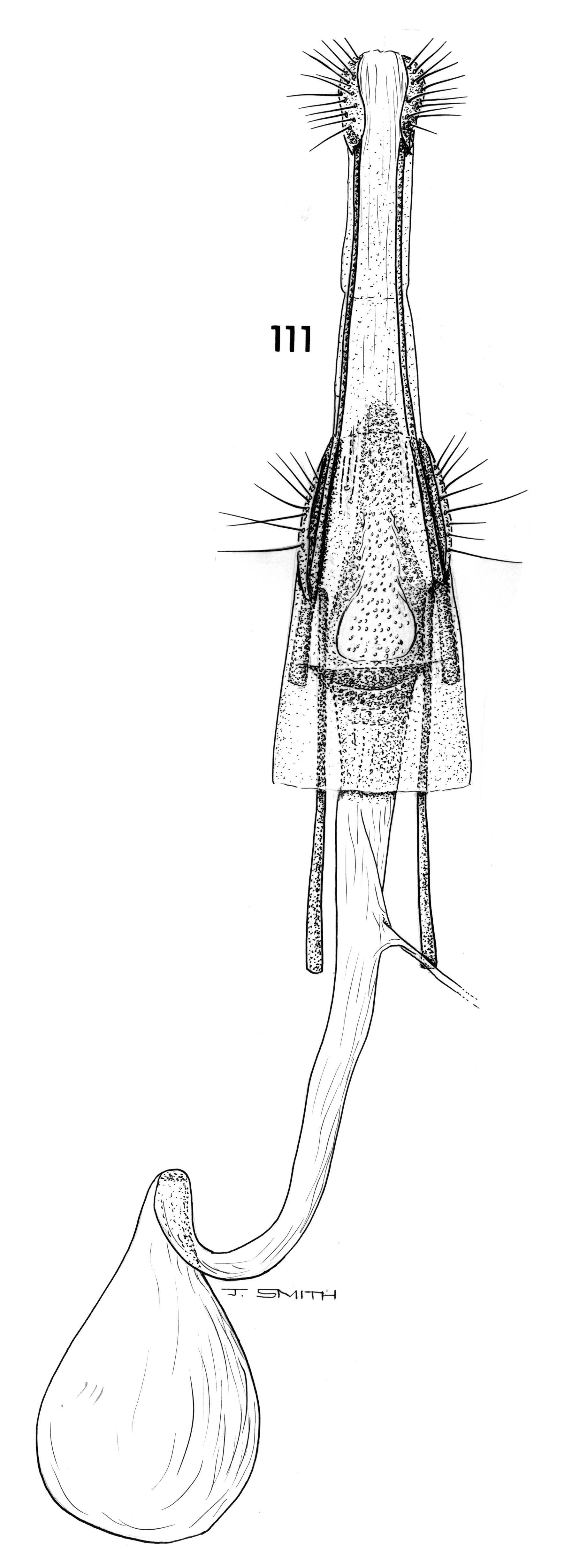 Image of <i>Carposina apousia</i> Clarke 1971