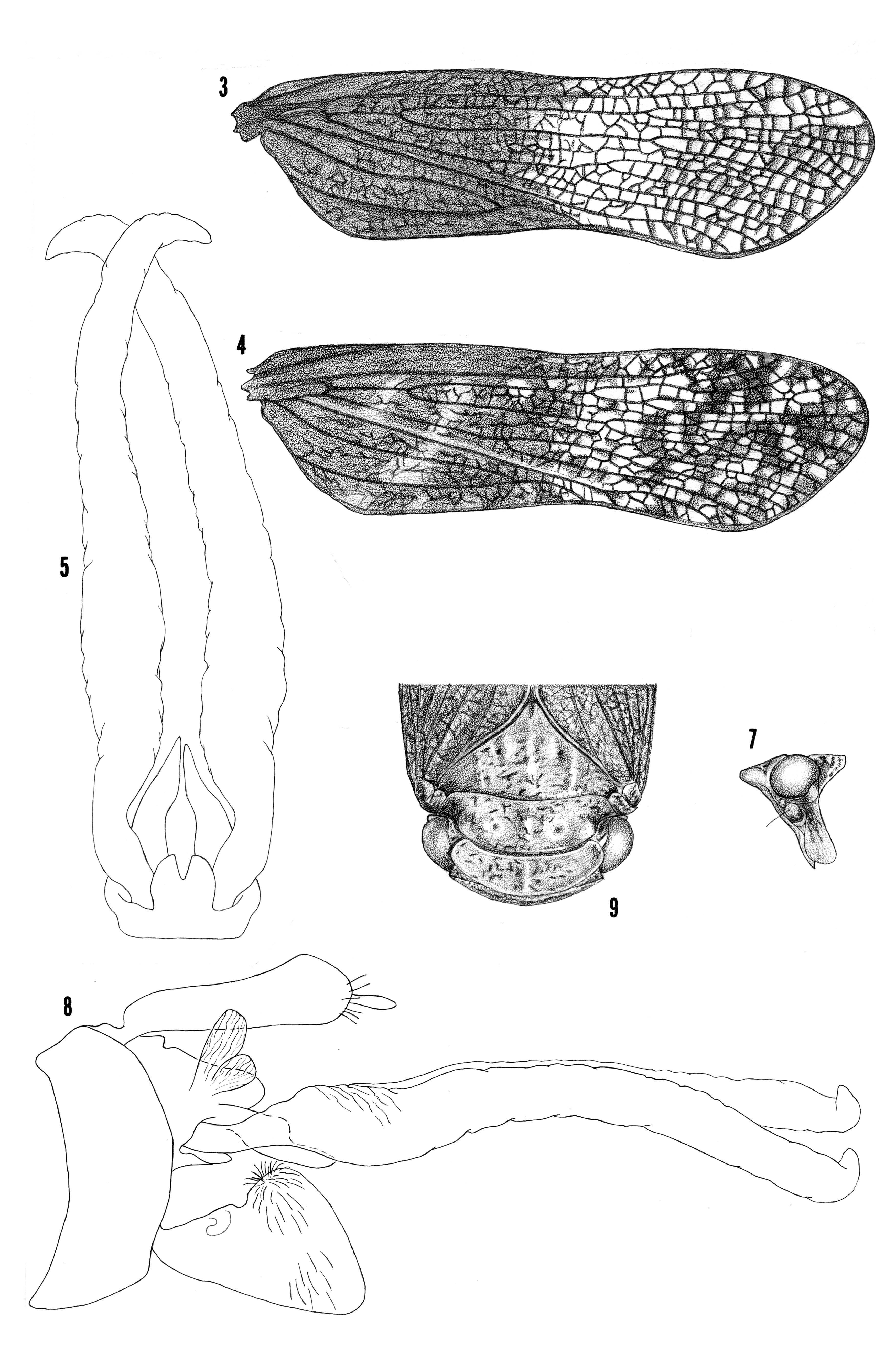 Image of <i>Cyrpoptus obtusus</i> (Valdes Ragues 1910)