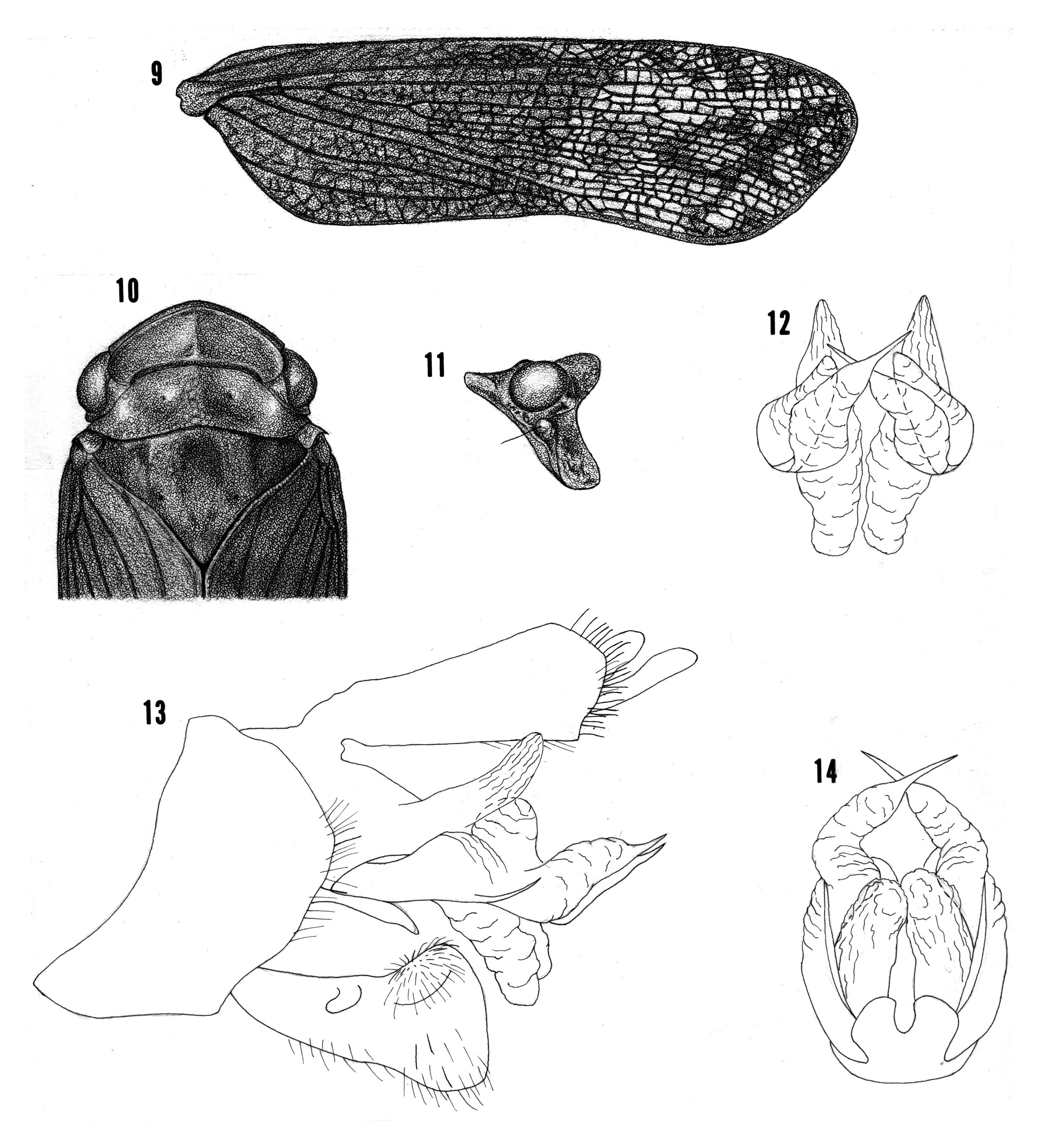Image of <i>Cyrpoptus ruficrus</i> Kramer 1978