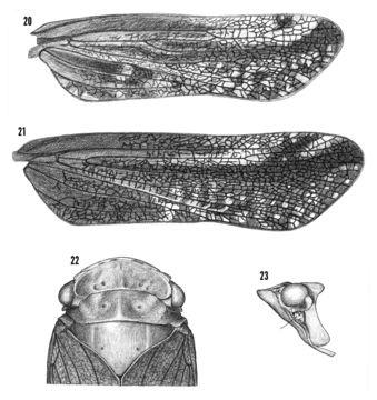Image of <i>Cyrpoptus belfragei</i> Stal 1869