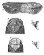 Image of <i>Cyrpoptus ferruginosus</i> Stal 1869