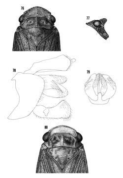 Image of <i>Cyrpoptus nubeculosus</i>