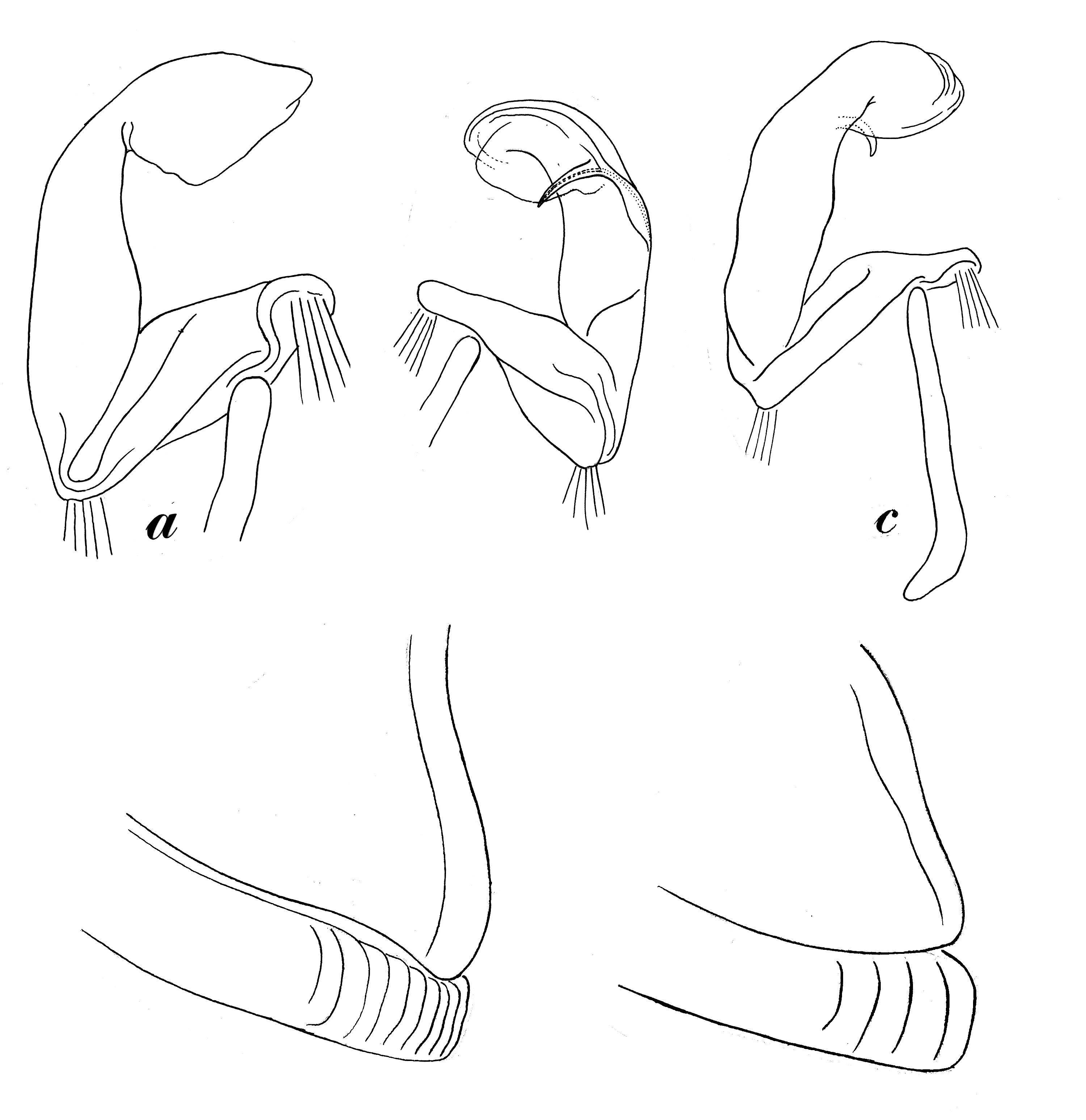 Image of Atopetholidae