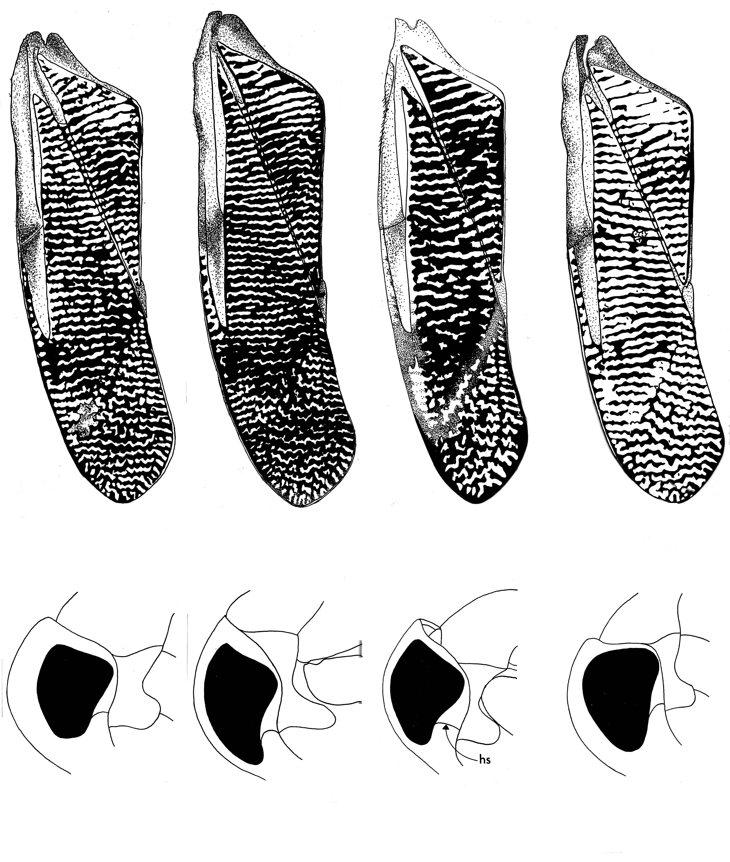 Image of <i>Graptocorixa abdominalis</i> (Say 1832)