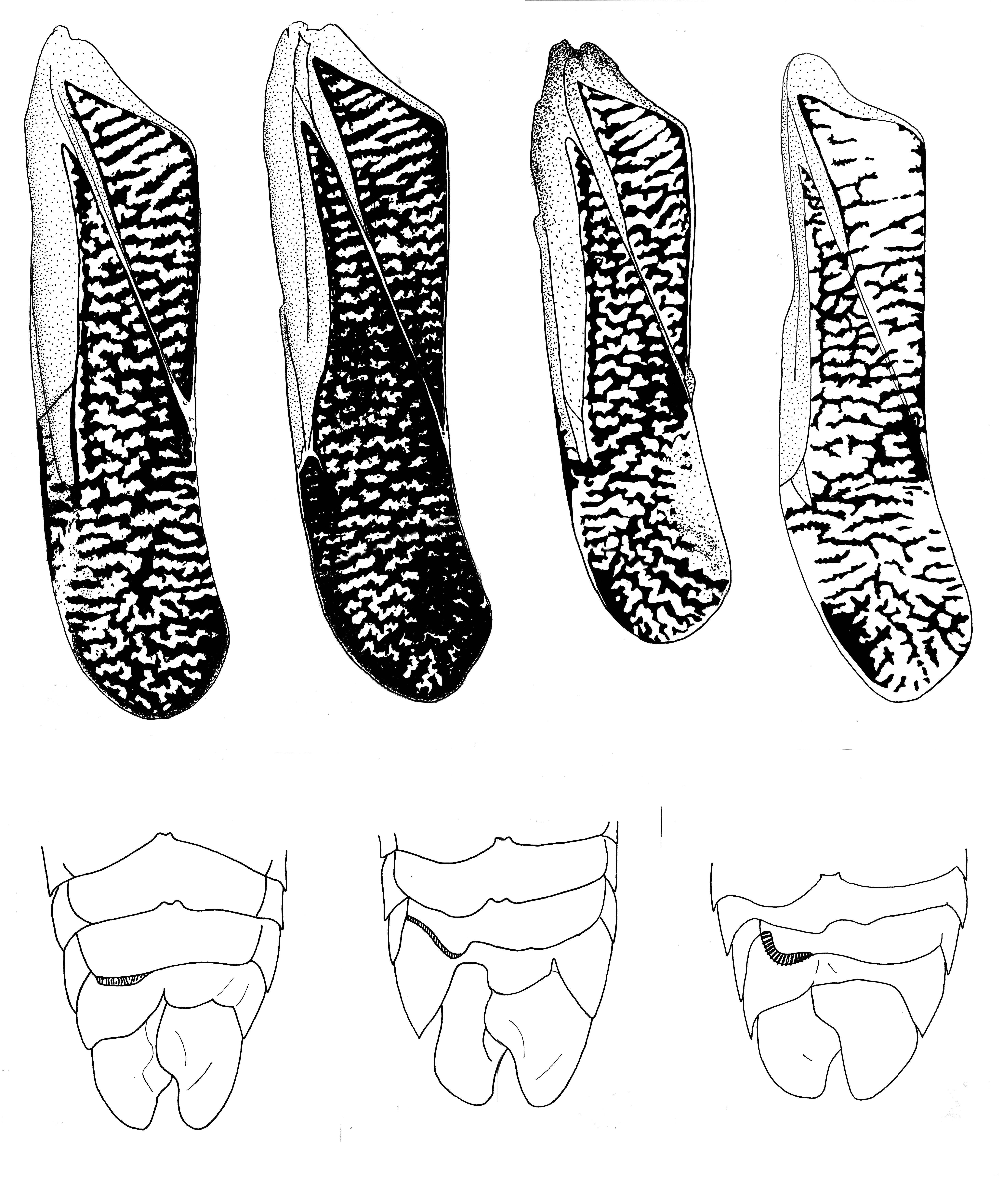 Image of <i>Trichocorixa reticulata</i> (Guérin-Méneville 1857)