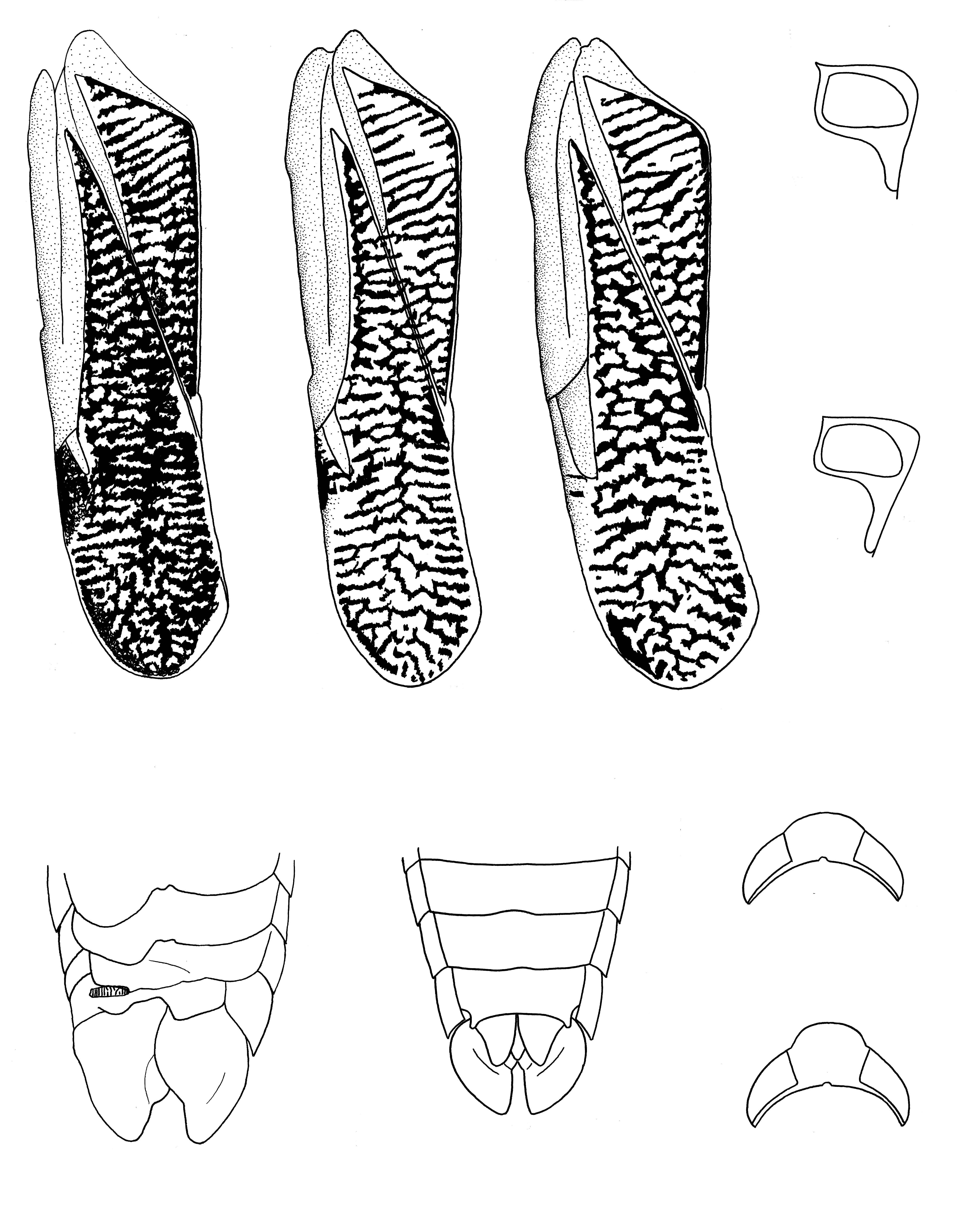 Image of <i>Trichocorixa verticalis californica</i> Sailer 1948