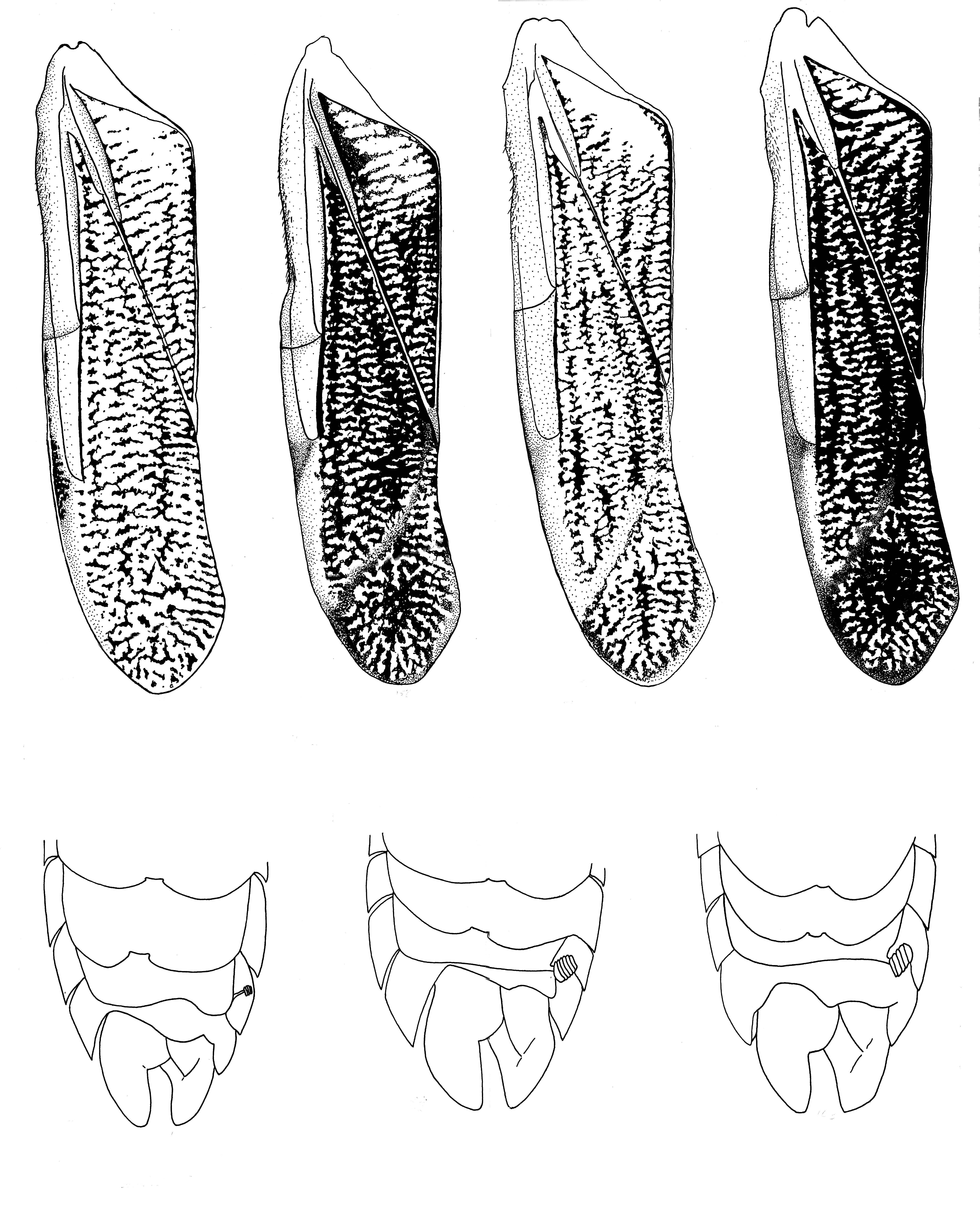Image of <i>Corisella tarsalis</i> (Fieber 1851)