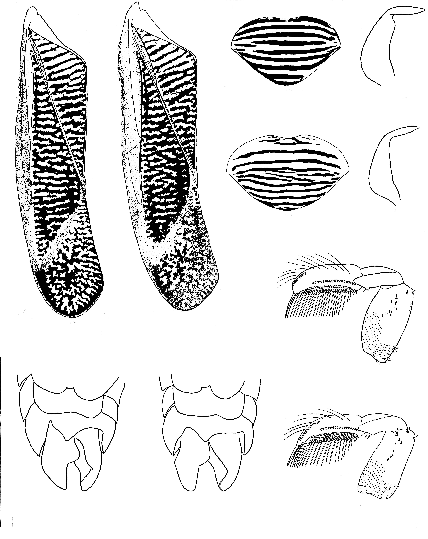Image of <i>Callicorixa vulnerata</i> (Uhler 1861)