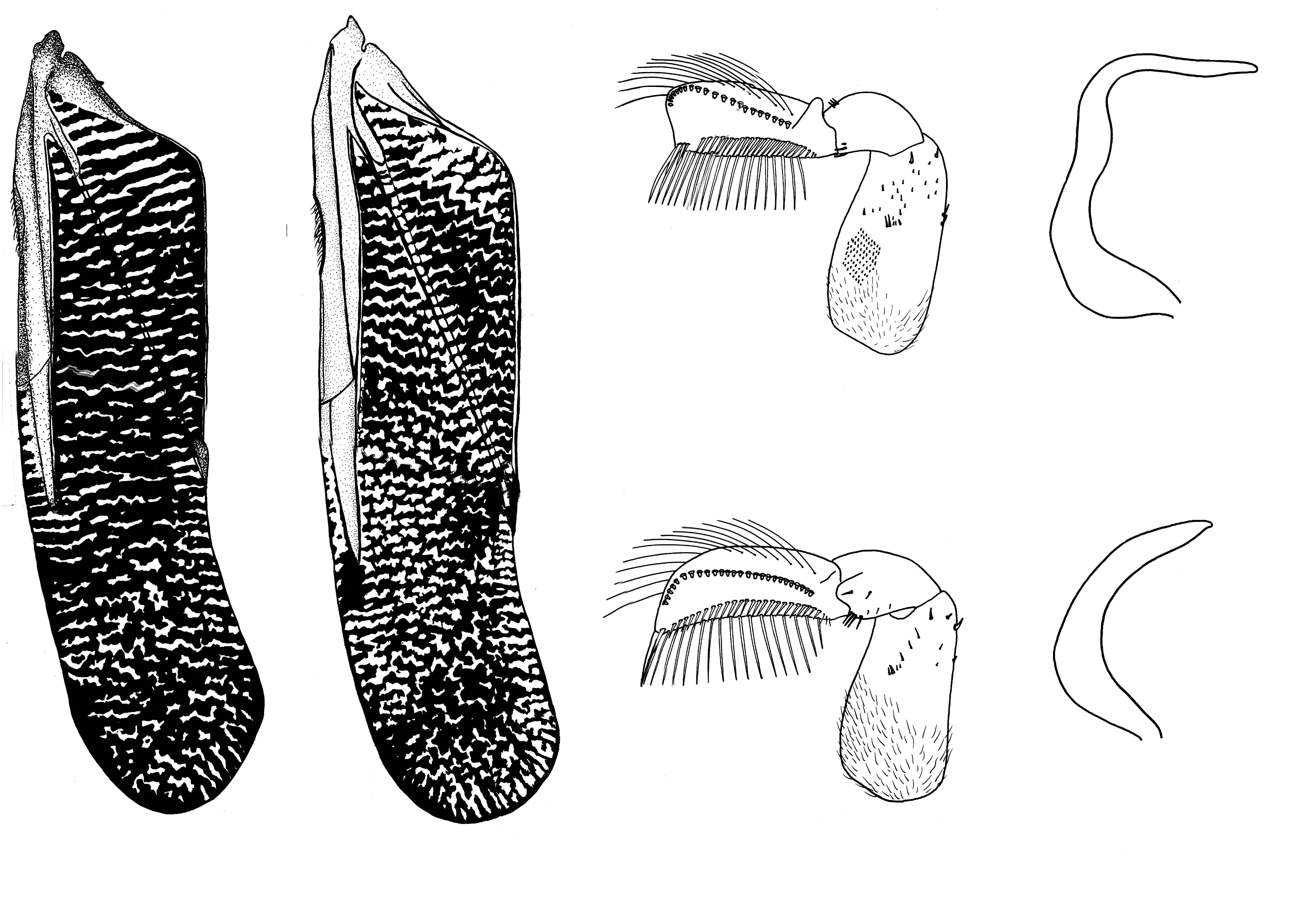 Image of <i>Hesperocorixa vulgaris</i> (Hungerford 1925)