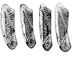 Image of <i>Sigara</i> (<i>Vermicorixa</i>) <i>washingtonensis</i> Hungerford 1948