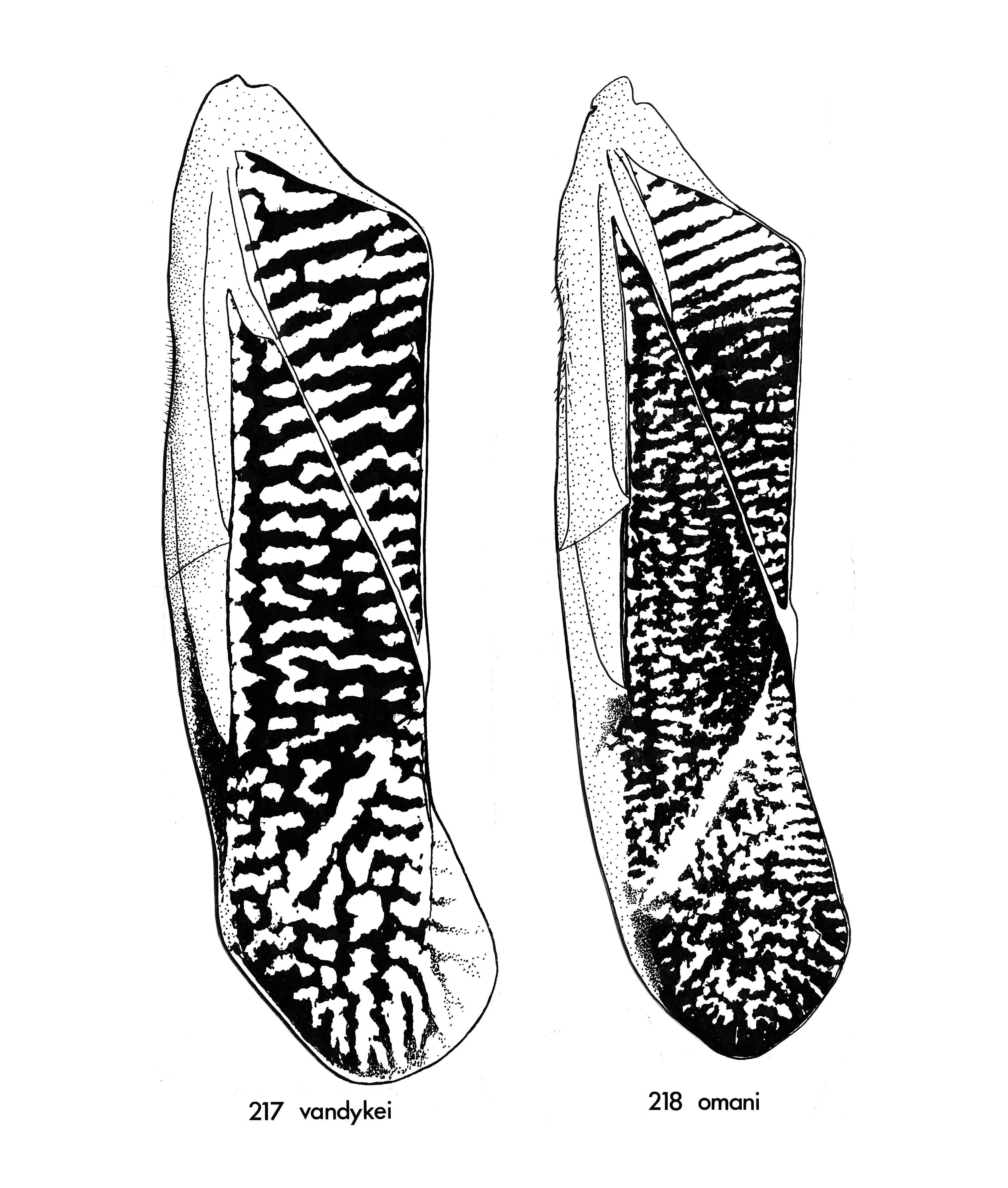 Image of <i>Sigara</i> (<i>Vermicorixa</i>) <i>vandykei</i> Hungerford 1948