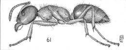 Image of <i>Liometopum occidentale</i> Emery 1895