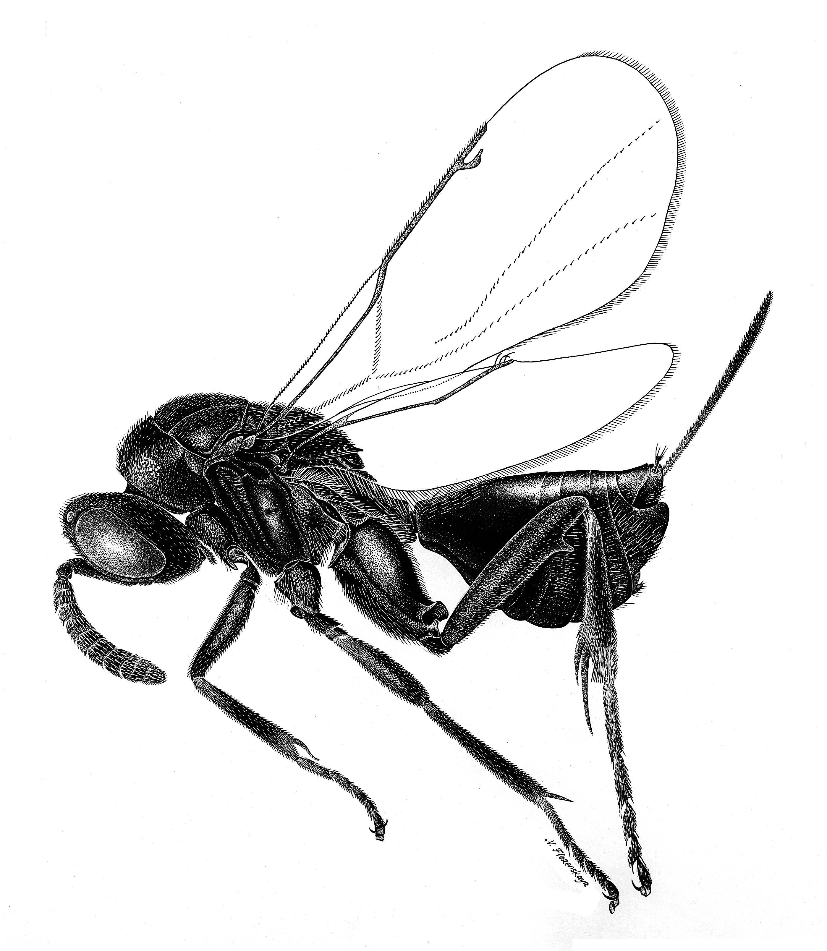 Image of <i>Perissocentrus striatulus</i> Grissell 1992