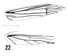 Image of <i>Calosima lucidella</i> Adamski