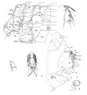Image of <i>Phthiropsylla agenoris</i> (Rothschild 1904)