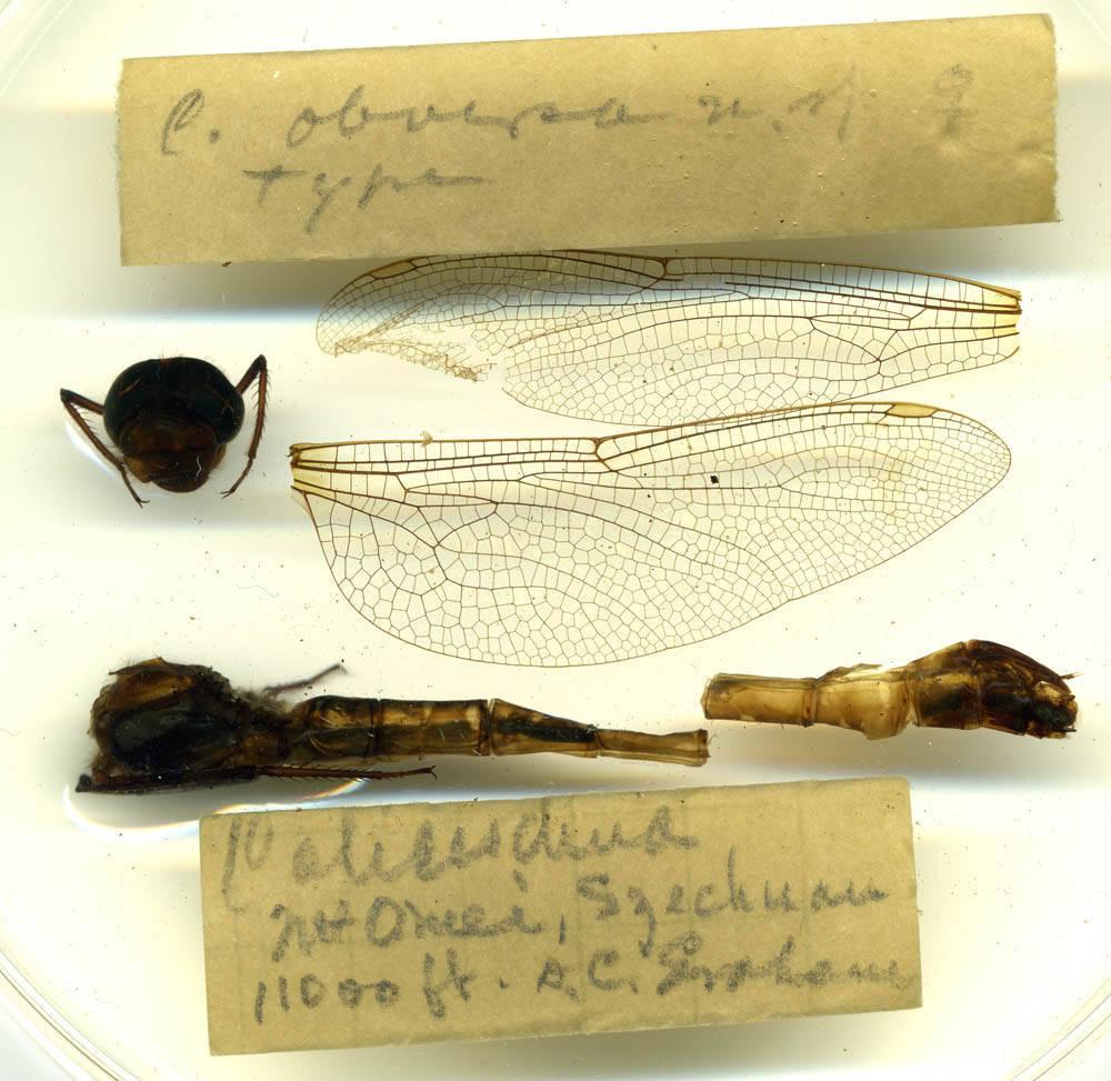 Image of <i>Cephalaeschna obversa</i> Needham 1930