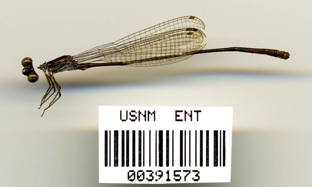 Image of <i>Teinobasis carolinensis</i> Lieftinck 1962