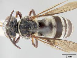 Image of <i>Triepeolus sublunatus</i> Cockerell 1907