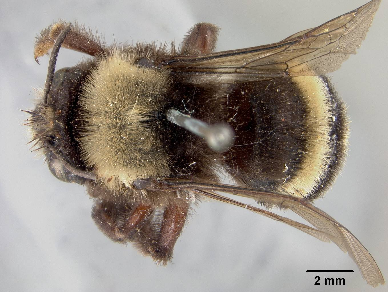 Image of <i>Anthophora stanfordiana</i> Cockerell