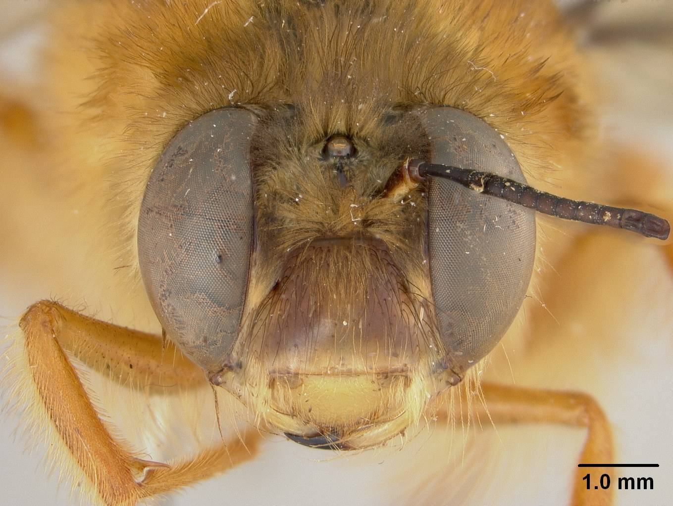 Image of <i>Pachymelus ratsiraka</i> Brooks & Pauly 2001
