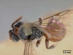 Image of <i>Sphecodes banksii</i> Lovell 1909
