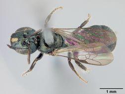 Image of <i>Ceratina nautlana</i> Cockerell 1897