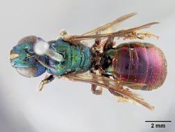 Image of <i>Ceratina amabilis</i> Cockerell